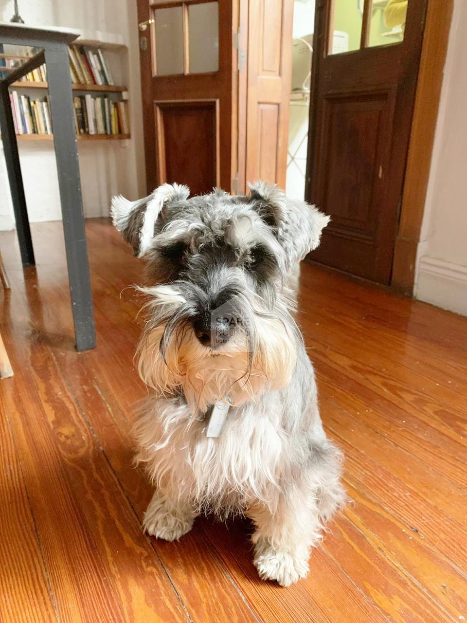 The Dog Simon